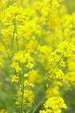 Rape Flowers at beautiful day(lat. Brassica napus). The yellow flower of rape Royalty Free Stock Photography