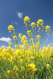 Rape flowers at beautiful day(Lat. Brassica napus). The yellow flower of rape Royalty Free Stock Photo