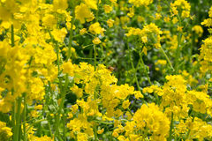Rape flowers and a bee Royalty Free Stock Photos