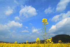 Rape flowers and blue sky Royalty Free Stock Images