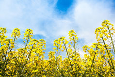 Rape flowers. Blue sky, white clouds and yellow cauliflower Stock Photo