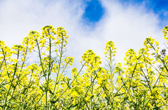 Rape flowers. Blue sky, white clouds and yellow cauliflower Royalty Free Stock Photography