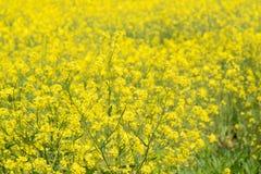 Rape flowers in a farm field Stock Photos