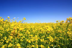 Rape Flowers Field Royalty Free Stock Images