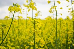 Rape flowers Royalty Free Stock Photo