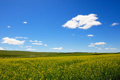 Rape flowers field background Royalty Free Stock Image