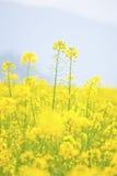 Rape flowers field, canola on blue sky. Royalty Free Stock Photos
