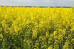 Rape flowers in a field. Rape flowers in a rapeseed field Royalty Free Stock Photos