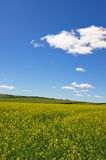 Rape flowers field under blue sky and white cloud Royalty Free Stock Photos