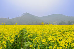 Rape flowers in foggy sunny spring Stock Photos