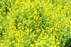 Rape flowers in full bloom Royalty Free Stock Photos