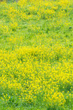 Rape flowers in full bloom Stock Image