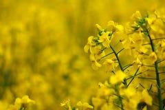 Flowers full of yellow fields. Flowers at Hokkaido, Japan Full yellow flowering field royalty free stock images