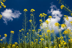 Rape flowers on grassland of Inner Mongolia Royalty Free Stock Photography