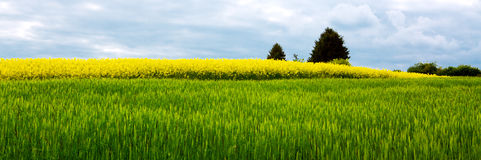 Rape flowers and gray clouds . Royalty Free Stock Images