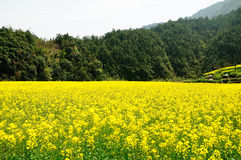 Rape flowers Stock Images