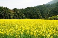 Rape flowers Stock Images