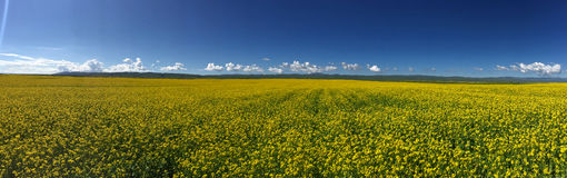 Rape flowers. A large yellow rape under the blue sky Stock Photography