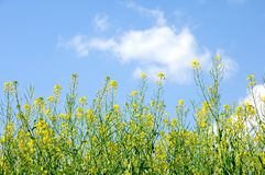 Rape Flowers from Lower View Royalty Free Stock Photos