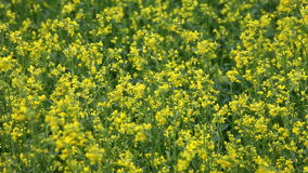 Rape flowers in meadow Stock Photography