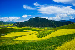Rape flowers - million hectares of rape flowers beauty Royalty Free Stock Photo