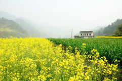 Rape flowers and Paddy Royalty Free Stock Image