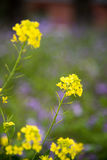 Rape flowers Stock Image