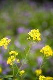 Rape flowers Stock Image