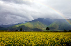 Rape flowers and rainbow Royalty Free Stock Image