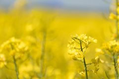 Rape Flowers in the season spring. Yellow field stock photos
