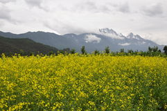 Rape flowers and snow montain Stock Photography
