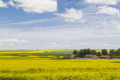 Rape flowers to stretch as far as eye can see Stock Image