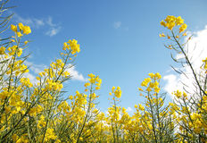 Rape flowers under blue sky on close shot Royalty Free Stock Photos