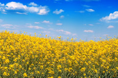 Rape flowers under blue sky Royalty Free Stock Image