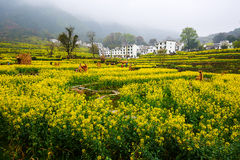 The rape flowers and village and scarecrow Stock Photo