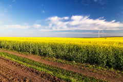 Rape flowers were yellowing the fields with blue sky Stock Photo