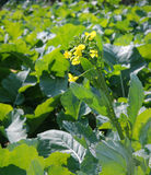 Rape flowers. Yellow Rape flowers in early spring Stock Photography