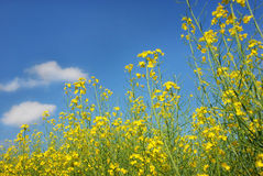 Rape flowers Royalty Free Stock Photos