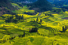 Rape flowers in Yunnan ,China Royalty Free Stock Image