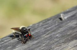Rape fly. Eats kidney spotted beetle beetles /  hunting and eating herbivorous insects Stock Image
