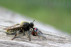 Rape fly. Eats kidney spotted beetle beetles /  hunting and eating herbivorous insects Royalty Free Stock Image