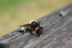 Rape fly. Eats kidney spotted beetle beetles /  hunting and eating herbivorous insects Royalty Free Stock Images