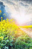Rape Frowers on road to sunset Royalty Free Stock Photography