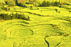 in full bloom in luoping county in yunnan province Stock Images