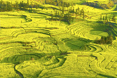 in full bloom in luoping county in yunnan province Royalty Free Stock Photo