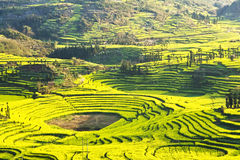 in full bloom in luoping county in yunnan province Stock Photography