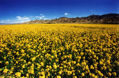 Rape in full bloom in qinghai plateau Stock Photos