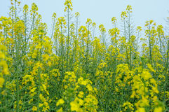 Rape flower. Rape in full bloom in the spring Royalty Free Stock Image