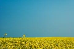Rape landscape. White blue sky Stock Photography