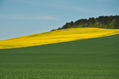 Rape Landscape. Rape and wheat Landscape - nature background Stock Image
